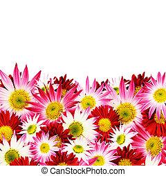 アスター, 花, ボーダー