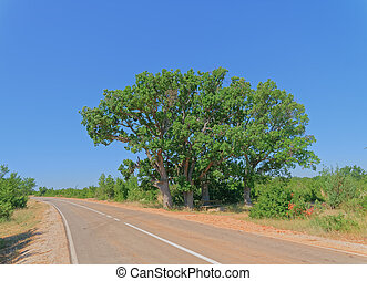アスファルト, 木, 後背地, ダルマチア語, 古い, オーク, 大きい, 道