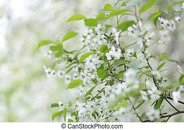 アップル, 春, 木, blossomed, さくらんぼ, 白い花