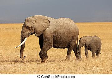 アフリカの象, ∥で∥, 子牛