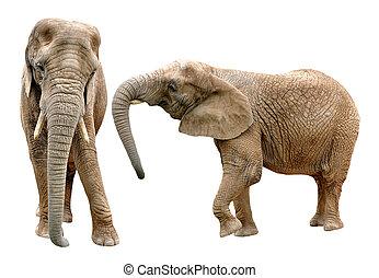 アフリカの象
