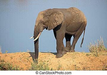 アフリカの象, 中に, 自然, 生息地