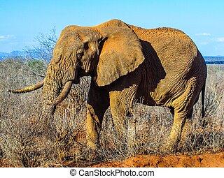 アフリカの象, 中に, 自然, 生息地, ngorongoro の 保存 区域, タンザニア, アフリカ。