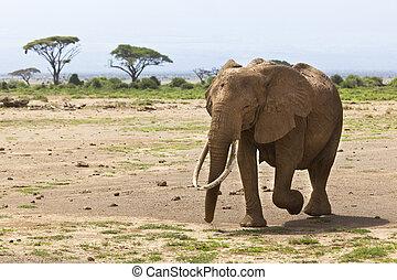 アフリカの象, 中に, kenya