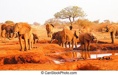 アフリカの象, 中に, ∥, morning., サバンナ, アフリカ, kenya