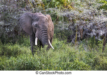 アフリカの象, 中に, ∥, tarangire の国立公園, タンザニア