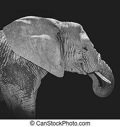 アフリカの象, 肖像画