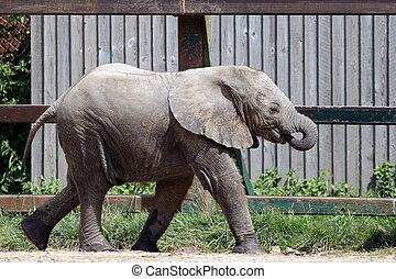 アフリカの象, (loxodonta)