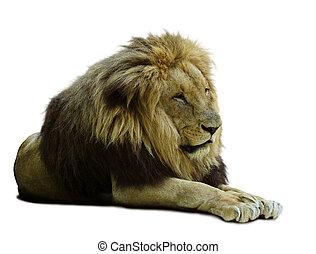 アフリカの ライオン
