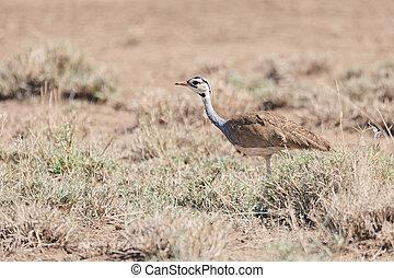 アフリカ, エチオピア, 鳥, bustard, 白 - bellied
