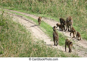 アフリカ, ヒヒ, タンザニア, -