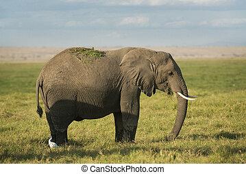 アフリカ, ブッシュ, 象