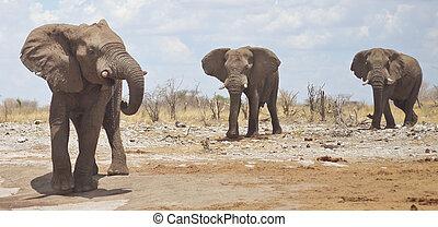 アフリカ, 象
