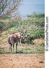 アフリカ, 野生生物, awash, オリックス, エチオピア, 東