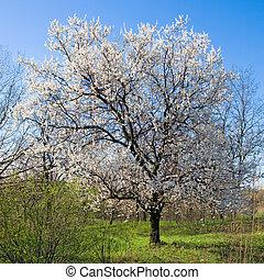 アプリコット, 花が咲く, 木。