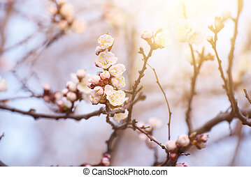 アプリコット, 花, 木