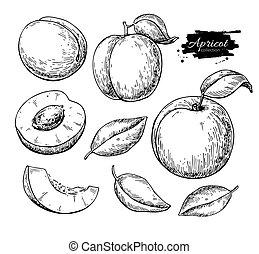 アプリコット, pieces., フルーツ, ベクトル, 薄く切られる, drawing., 合計, 手, 引かれる