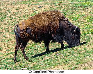 アメリカの野牛