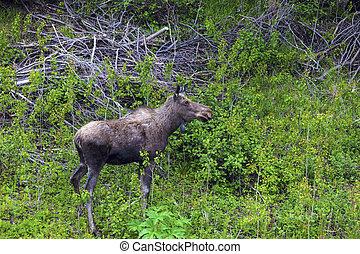 アメリカヘラジカ, 中に, ∥, 森林, ニューファンドランド