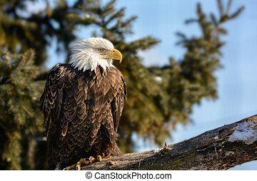 アメリカ人, 白頭鷲