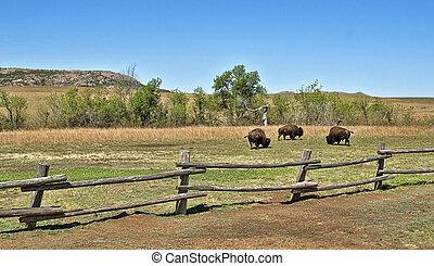 アメリカ人, buffalo.