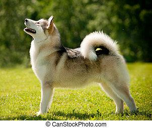 アラスカのエスキモー犬