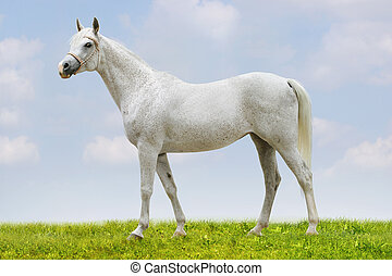 アラビア人, 白い馬