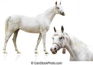 アラビア人, 馬, 隔離された