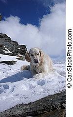 アルプス, かわいい, ラブラドル, 雪が多い, 取得, 犬, 壊れなさい, ピークに達しなさい, スイス人, 山, 冬