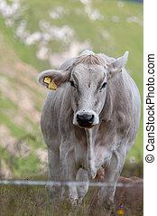 アルプス, スイス人, イタリア語, 牧草, 牛
