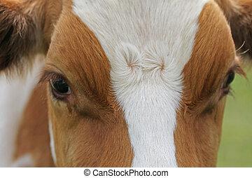 アルプス, ブラウン, 白, 牧草, 牛