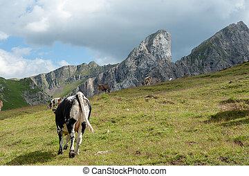 アルプス, 牛, スイス人, 白, 牧草, 赤, イタリア語