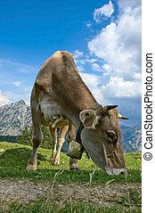 アルプス, 牧草, 牛
