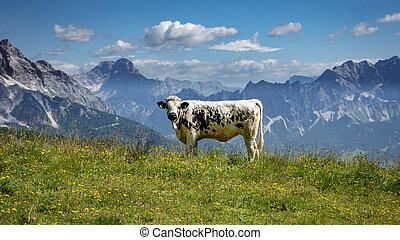 アルプス, 白, 黒, 牛, イタリア語