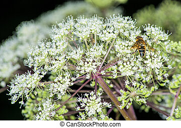 アンゼリカ, 薬効がある 植物, sylvestris
