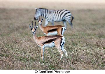 アンテロープ, そして, シマウマ, 上に, a, 背景, の, grass., サファリ, 中に, アフリカ