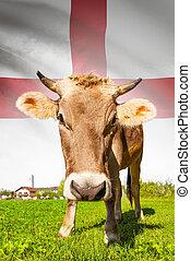 イギリス\, 牛, シリーズ, -, 旗, 背景