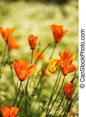 イメージ, の上, カリフォルニア, 終わり, ケシ, 花, 風景