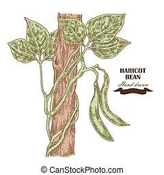 インゲンマメ, イラスト, 手, 豆, ベクトル, 引かれる, plant.