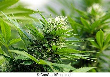 インド大麻, 細部, flowerhead