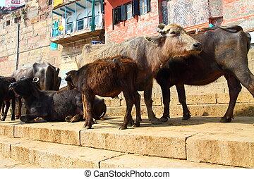インド, 神聖 牛