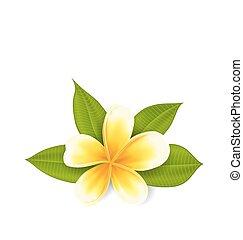 エキゾチックな花, frangipani, 隔離された, 葉, 背景, 白