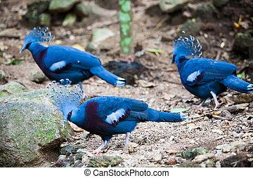 エキゾチックな鳥, 冠をかぶせられた, ビクトリア, goura, pigeon.