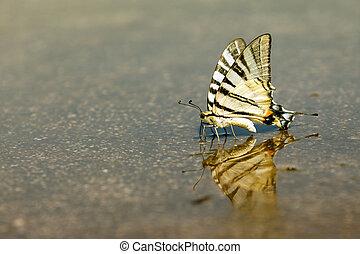 エキゾチック, 蝶, swallowtail, 水, 飲み物