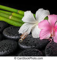 エステ, 概念, の, 禅, 玄武岩, 石, 白, そして, ピンク, ハイビスカス, 花