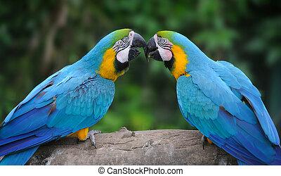 オウム, 鳥, (severe, macaw)