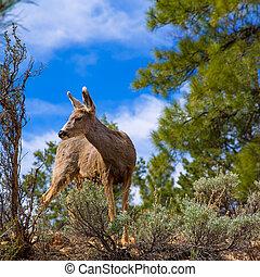 オオシカ, アリゾナ, 公園, 鹿, 峡谷, 壮大, 牧草