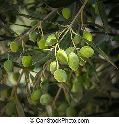 オリーブの木, ブランチ