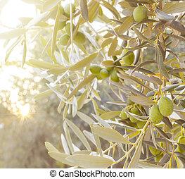 オリーブ, branch., 木