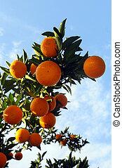オレンジの木, ∥で∥, 成果, そして, 花